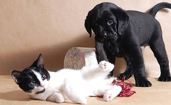 Лабрадор и кошка